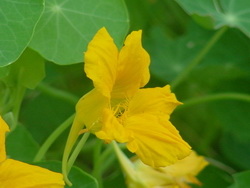What Are Nasturtium Flowers